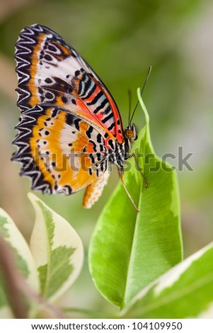 Lacewing Butterfly resting on a green leaf