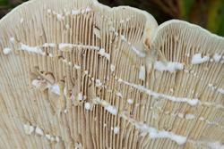 Lactifluus vellereus  fleecy milk cap in forest selective focus