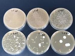 Lactobacillus plantarum microbial limit test results