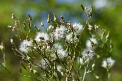 Lactuca indica (Indian lettuce) fluff and seeds