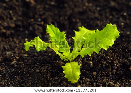 Lactuca Sativa - lettuce plant cultivation
