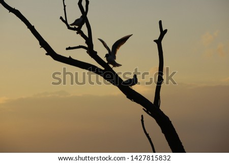 Lacustrine gulls resting on a flooded tree. Silhouettes of birds on the background of a milky sunset. Summer evening on the river. Concept: relaxation,meditation,silence of the night,restful sleep. #1427815832