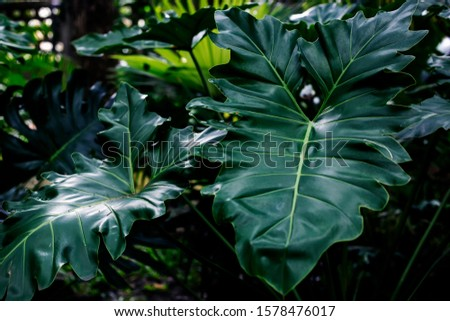 Lacy tree philodendron, selloum (Philodendron bipinnatifidum) is an evergreen tropical ornamental plants for garden. #1578476017