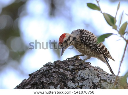 Ladder-backed Woodpecker ( Picoides scalaris) searching the bark of live oak tree for insects.  Strong back light.