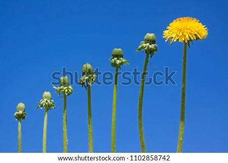 Ladder of success, originality  and development, different from other, dandelions against blue sky #1102858742