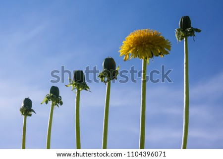 Ladder of success, originality  and development, different from other, dandelions against blue sky #1104396071