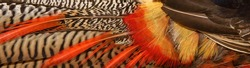 Lady amhersts pheasant ,a beautiful long tail bird incloseup
