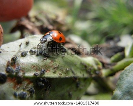 Lady Bird feeding aphid in Vicia faba bean leaf