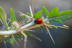 Lady Bug in Cactus Thorns Cockle thorny golden thorn - Xanthium spinosum L.