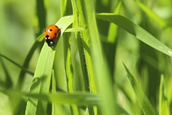 Lady Bug In The Grass