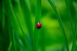 Lady bug on leaf of grass.