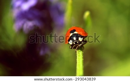 Stock Photo lady bug on the lavender flowers