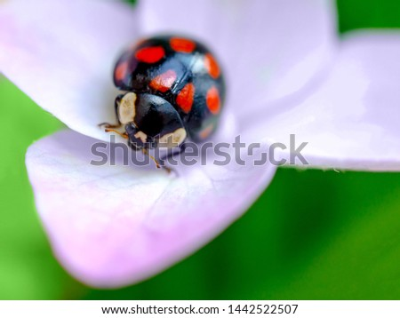 Lady bug resting on pink flowers of hydrangea. Close up view, selective focus image. Floral greeting card. #1442522507