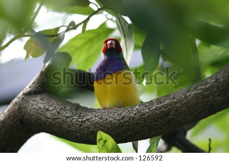 Lady Gouldian Finch - Bird perched in tree