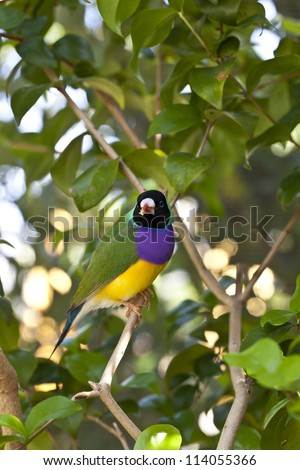Lady Gouldian finch perched in the early morning