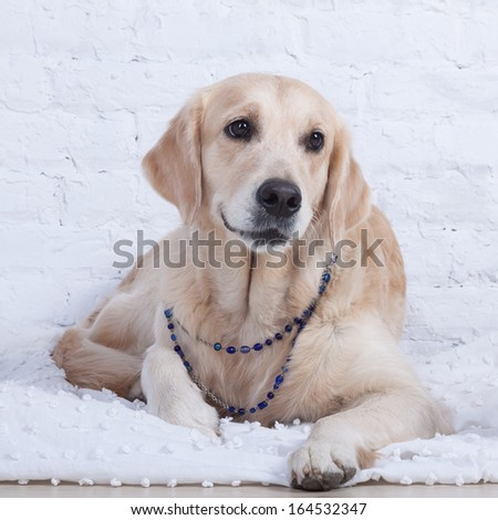 lady. Labrador gracefully lies on a bed near a white wall, wearing a necklace on it