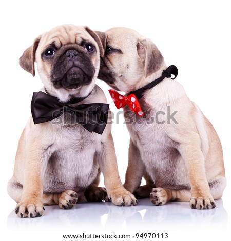 lady mops puppy whispering something or kissing its gentleman partner while seated. cute mops couple wearing neck bows. adorable pug puppy dogs couple sitting on white background.