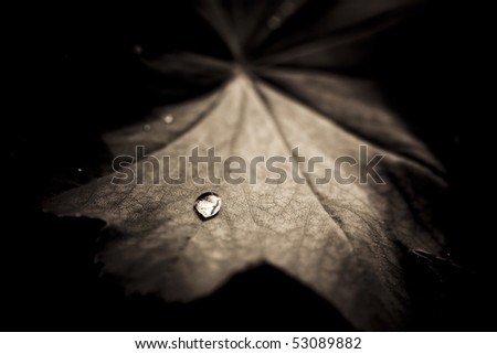lady's mantle leaf with water drop - stock photo