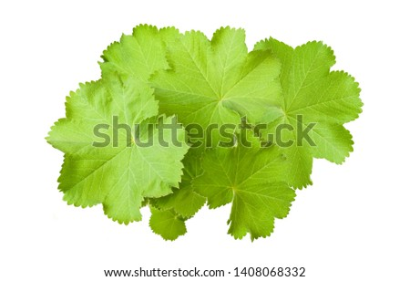Lady's Mantle leaves  isolated on white