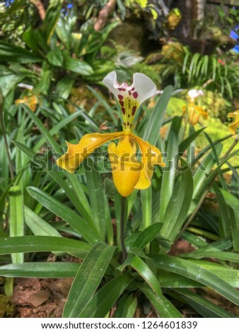 Lady's Slipper orchid is the most beautiful flower in Thailand.Paphiopedilum #1264601839