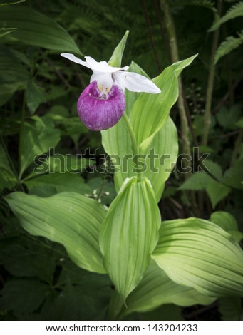 Lady slipper orchid are orchids in the subfamily Cypripedioidea. This example found in a bog in Hartland, Vermont.