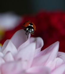 Ladybid isolated in blurry floral background, creative artistic photo of lady bird at the edge of lower.Red one ladybird (insect) isolated in natural red floral background, vertical photo