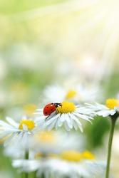 Ladybird and daisy as lucky charm