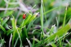 Ladybird close-up on grass