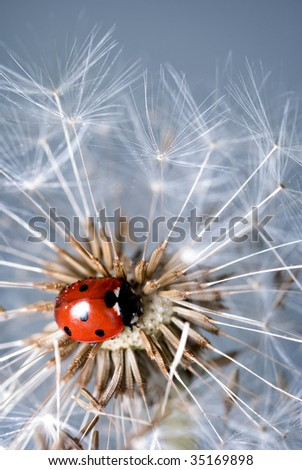 Ladybird crawling amongst a dandelions seed pods - stock photo