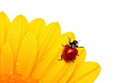 ladybird (ladybug)  on a yellow flower