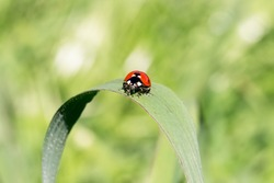 Ladybird on a blade of grass, readying to fly.  Macro close-up. Spring. A series of 3 photos.