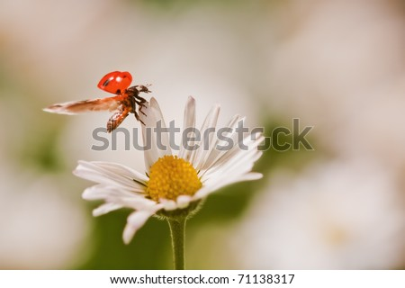 ladybird on a daisy shortly before take-off