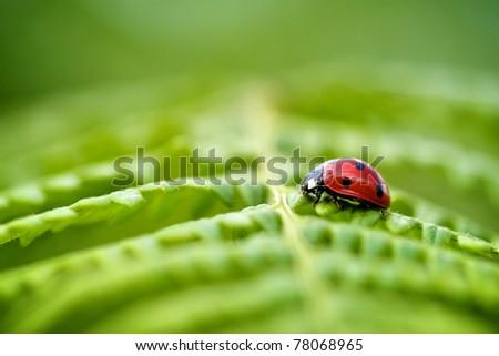 Ladybird on a spring green fern leaf