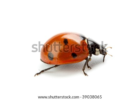 Ladybird on a white background. A close up.
