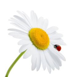 Ladybird on daisy, chamomile isolated on white. Image about summer, spring, flowers and joy.