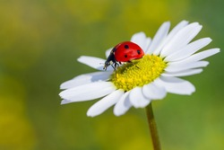 Ladybird on daisy flowers at dawn spring