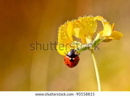 ladybird on flower with morning dew