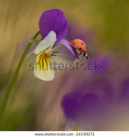 Ladybird on heartsease