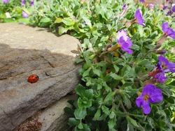 ladybird sitting on a rock in the sun. Insects and creepy crawlies. Spotted Ladybug with red shell and black spots
