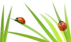 Ladybirds on stalks isolated on white