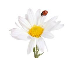 Ladybud sitting on chamomile flower isolated on white