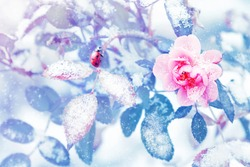 Ladybug and beautiful pink roses and blue leaves in snow and frost in a winter park. Christmas artistic image.