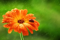 Ladybug and orange gerbera or calendula flower on sun against grass. Raining water drops.