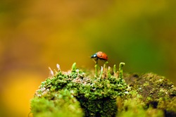 Ladybug beetle on moss