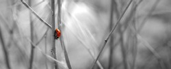 Ladybug. Black and white landscape with a highlighted color object. A ladybug crawls on a dry stalk of grass. Selective color Selective focus.