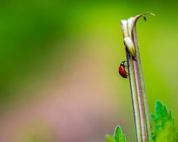 Ladybug climbing up the broken nettle stalk. Blurred green background.