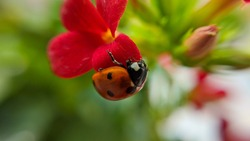 Ladybug close-up with nature background.  Insect ladybug sits on red flower