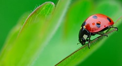 ladybug close-up with nature background, ladybug holding green leaf with legs.