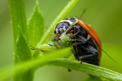 Ladybug (Coccinella septempunctata) eating its prey, which is an aphid. Macro, close up.
