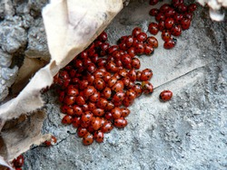 Ladybug colony on stone, Caucasus, South of Russia, copy space, Peredovaya village